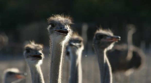 Visit an ostrich show farm near Oudtshoorn in the Klein Karoo - about 60 km from your base at Blommekloof Country Cottages